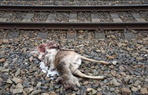 Sražená laň jelena evropského na trati Chlumec nad Cidlinou - Velký Osek. Pramen: SŽDC/dokumentace EIA