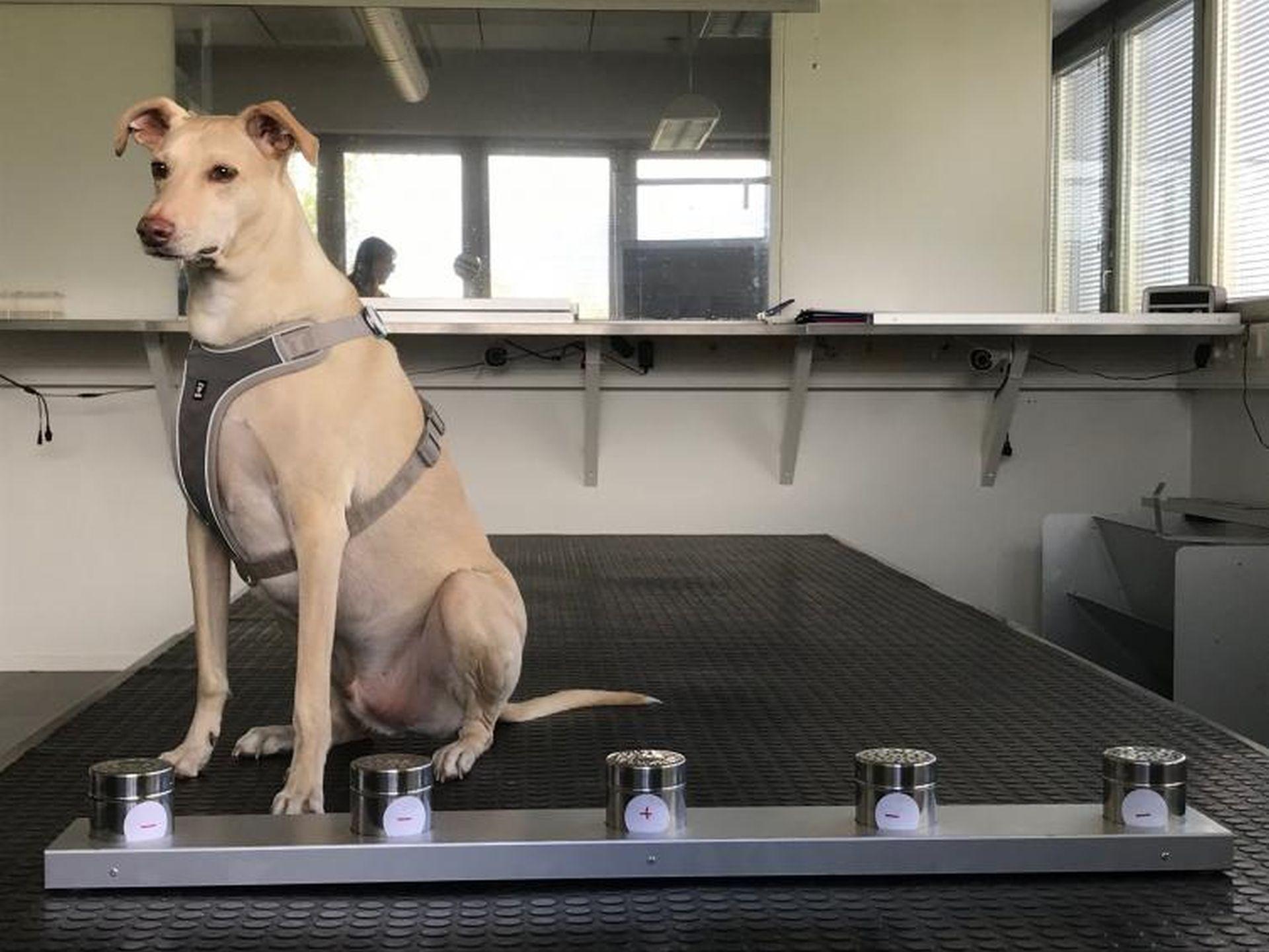Pes pro odhalování cestujících nakažených koronavirem. Foto: Finavia